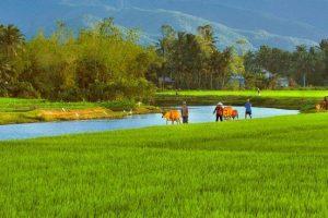 TOP +10 Bài Văn Thuyết Minh Về Cây Lúa Quê Em Mới Nhất 2017